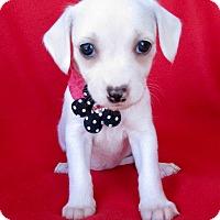 Adopt A Pet :: Monica - Irvine, CA