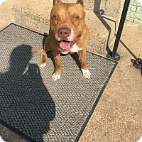 American Staffordshire Terrier Dog for adoption in Loretto, Tennessee - Diesel