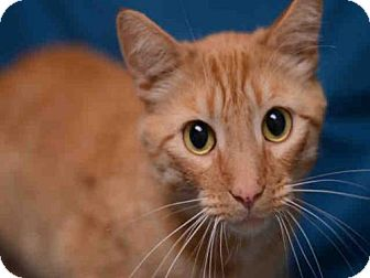 Domestic Mediumhair Cat for adoption in Fort Collins, Colorado - HAPPY