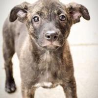 Adopt A Pet :: Italia - DFW, TX