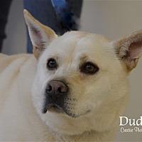 German Shepherd Dog/Labrador Retriever Mix Dog for adoption in Osage Beach, Missouri - Dudley