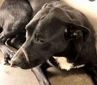 Labrador Retriever Mix Dog for adoption in Red Bluff, California - CRICKET