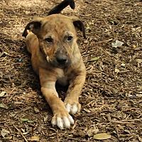Adopt A Pet :: Sylvia - San Antonio, TX