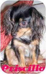 Papillon/Dachshund Mix Dog for adoption in San Clemente, California - Priscilla