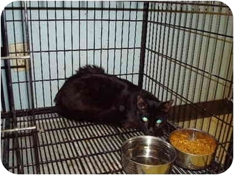 Domestic Mediumhair Cat for adoption in Baton Rouge, Louisiana - Shadow