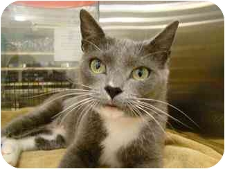 Domestic Shorthair Cat for adoption in Houston, Texas - Laura