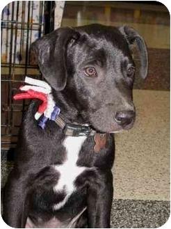 Border Collie/Boxer Mix Puppy for adoption in Houston, Texas - Scotty