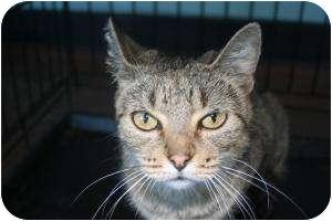 Domestic Shorthair Cat for adoption in Hopkinsville, Kentucky - Honey