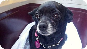 Chihuahua Dog for adoption in Los Angeles, California - Stitches