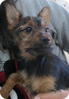 Yorkie, Yorkshire Terrier Mix Puppy for adoption in Hammonton, New Jersey - Rupert