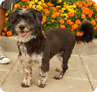 Cavalier King Charles Spaniel/Lhasa Apso Mix Dog for adoption in Houston, Texas - Maddie (pure sweetness!)