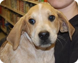 Pointer/Hound (Unknown Type) Mix Puppy for adoption in Brooklyn, New York - Watson