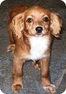 Cavalier King Charles Spaniel/Cocker Spaniel Mix Puppy for adoption in Oswego, Illinois - I'M ADOPTED Ziggy Guitar
