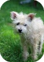 Terrier (Unknown Type, Small)/Wirehaired Fox Terrier Mix Dog for adoption in Tinton Falls, New Jersey - Clara Bell