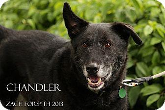 Labrador Retriever Mix Dog for adoption in Portland, Oregon - Chandler