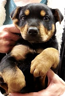 German Shepherd Dog Mix Puppy for adoption in Wichita Falls, Texas - Blaze