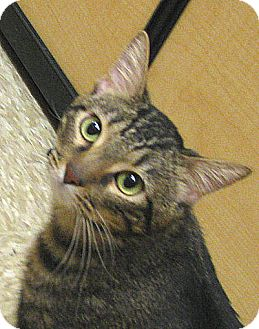 Domestic Shorthair Cat for adoption in Tulsa, Oklahoma - Darryl