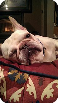 French Bulldog Dog for adoption in Freeport, New York - Gaspar the Frenchy
