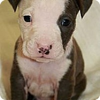 Adopt A Pet :: Tank - Burr Ridge, IL