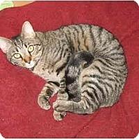 Adopt A Pet :: Goober kitten - Cincinnati, OH