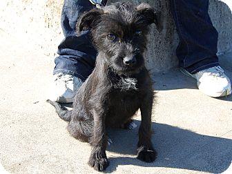Schnauzer (Miniature) Mix Puppy for adoption in North Judson, Indiana - Rosie