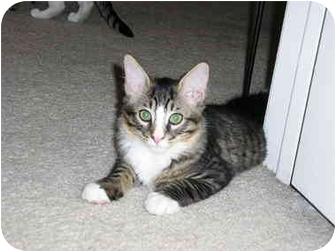 Domestic Mediumhair Kitten for adoption in Scottsdale, Arizona - Hercules