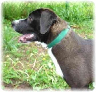 Labrador Retriever/Basset Hound Mix Dog for adoption in Wyoming, Minnesota - Hattie