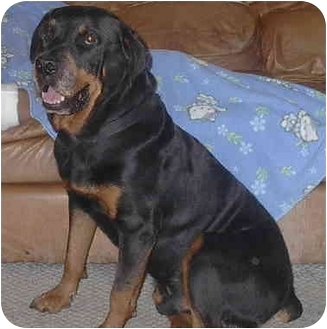 Rottweiler Dog for adoption in Ortonville, Michigan - Max