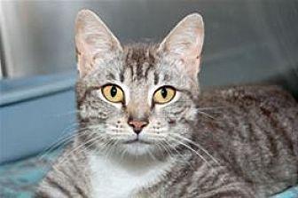 Domestic Mediumhair Cat for adoption in Mountain Home, Arkansas - Cammi