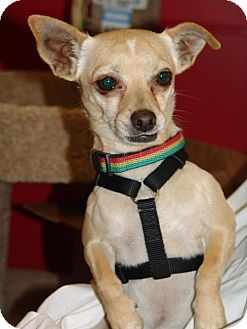 Toy Fox Terrier/Chihuahua Mix Dog for adoption in Phoenix, Arizona - HARLEY DAVIDSON