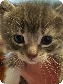Domestic Shorthair Kitten for adoption in Huntley, Illinois - Sweety