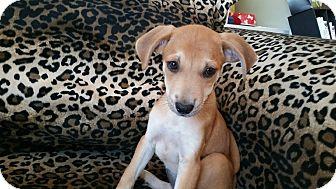 Labrador Retriever/Shepherd (Unknown Type) Mix Puppy for adoption in Valencia, California - Penelope