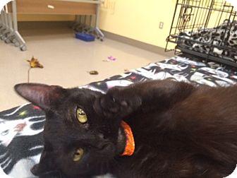 Domestic Shorthair Cat for adoption in Denver, North Carolina - Athena