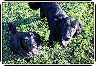 Cocker Spaniel/Retriever (Unknown Type) Mix Dog for adoption in Dunkirk, New York - Missy & Bruiser