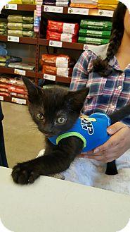 American Shorthair Kitten for adoption in San Jose, California - Beettle Juice