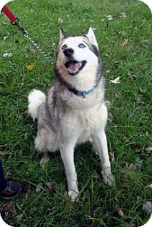 Siberian Husky Mix Dog for adoption in Boyertown, Pennsylvania - Silver
