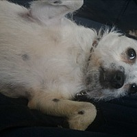 Jack Russell Terrier Dog for adoption in Toronto/GTA, Ontario - BABY
