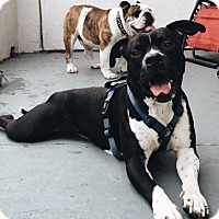 Adopt A Pet :: Tru . . handsome Boxer/Pit Boy - Corona, CA