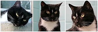 Domestic Shorthair Cat for adoption in Forked River, New Jersey - Midnight