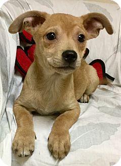 Hound (Unknown Type) Mix Puppy for adoption in Phoenix, Arizona - Jelly