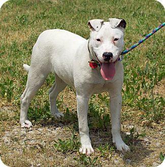 Adopt A Pet :: Dancer ~ deaf  - Troy, MI