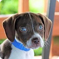 Adopt A Pet :: Hudson - app pending - Centreville, VA