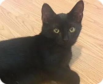 Bombay Kitten for adoption in Houston, Texas - Stevie