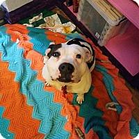 Adopt A Pet :: Spot - Chicago, IL
