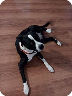 American Pit Bull Terrier/Boxer Mix Dog for adoption in Phoenix, Arizona - Kevin