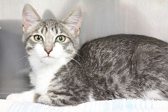 Domestic Shorthair Kitten for adoption in Medfield, Massachusetts - Giselle