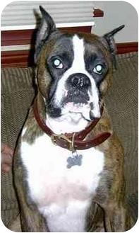 Boxer Dog for adoption in Charleston, West Virginia - Sabre