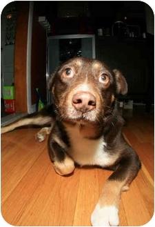 English Shepherd/Labrador Retriever Mix Dog for adoption in Worcester, Massachusetts - Bear