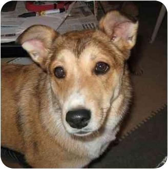 Australian Cattle Dog/Shiba Inu Mix Dog for adoption in Golden Valley, Arizona - Bonnie