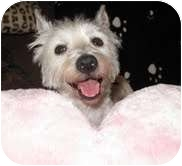 Westie, West Highland White Terrier Dog for adoption in Frisco, Texas - Wesley